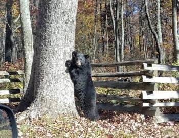 Black Bear at Deep Creek Lake