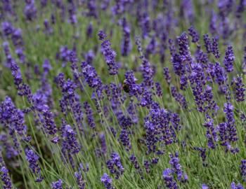 Deep Creek Lavender Farm